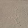 キタキツネとウサギのアニマルトラッキング(足跡)