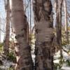 ガンビ(シラカバの樹皮)