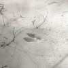 エゾリスのアニマルトラック(足跡)
